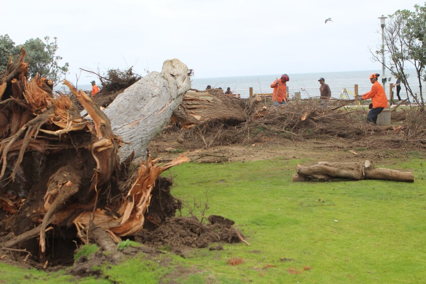 City cleanup crews chainsaw the limbs off the remains of Scripps Park's famous Monterey cypress.
