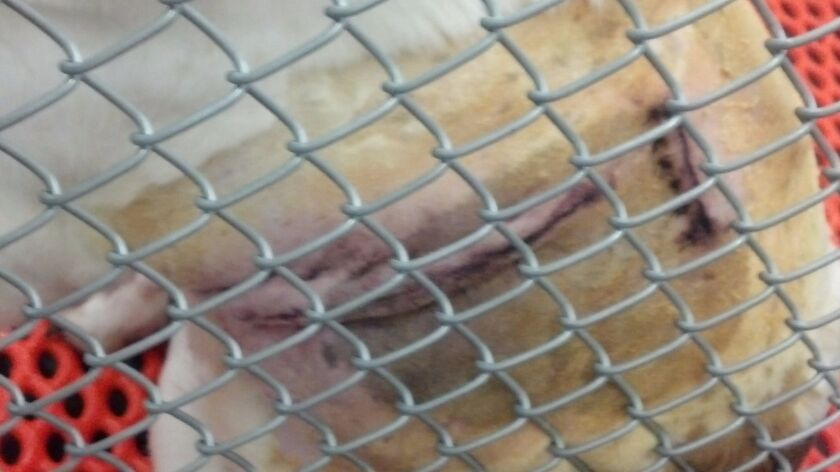 In a photo provided by White Coat Waste Project, a dog at the Richmond VA shows incision
