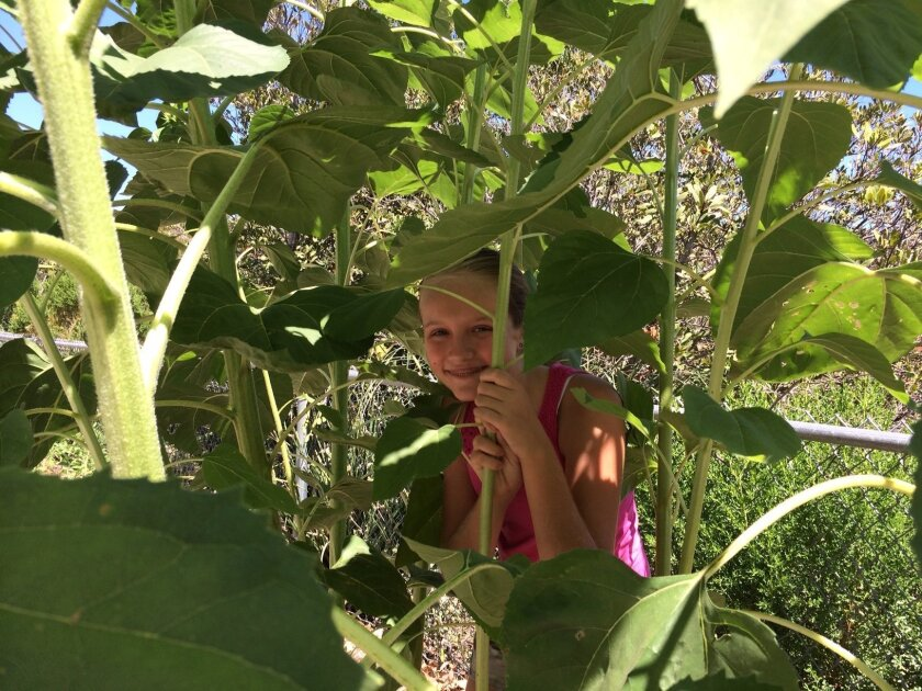 Fifth-grader Grace Fisher peeks through the towering sunflowers in the Carrillo Elementary School garden.