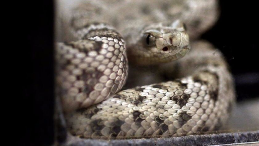 LOS ANGELES, CA - DECEMBER 20, 2016 -- A baby rattleless rattle snake is part of the baby boom of