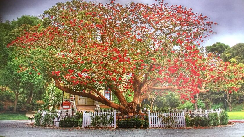 This storied coral tree, shown in a photo transfer on metal, was the centerpiece of Heritage Park in Old Town for more than six decades before it toppled. This artwork hangs in the Coral Tree Inn, which is barely visible in the background.