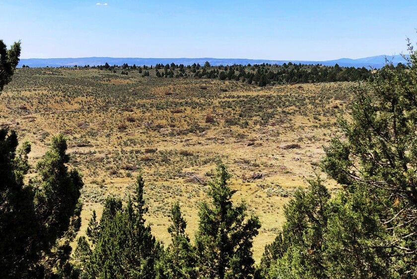 Junipers downed in Idaho to increase sage grouse habitat.