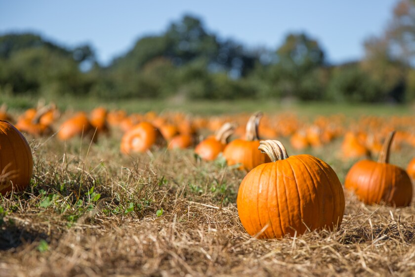 Pumpkins are one of the things that make Halloween so special.