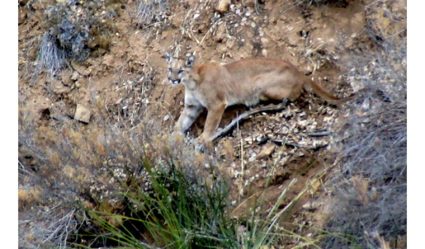 A mountain lion can be seen on a hillside in the Santa Monica Mountains in a photo provided by the National Park Service.