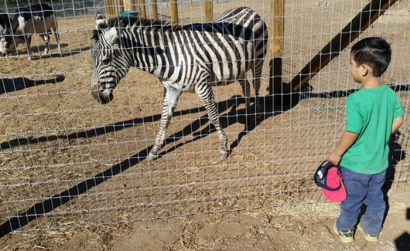 Liam Barrales, 4, gets up close and personal with a zebra at the Children's Nature Retreat in Alpine.