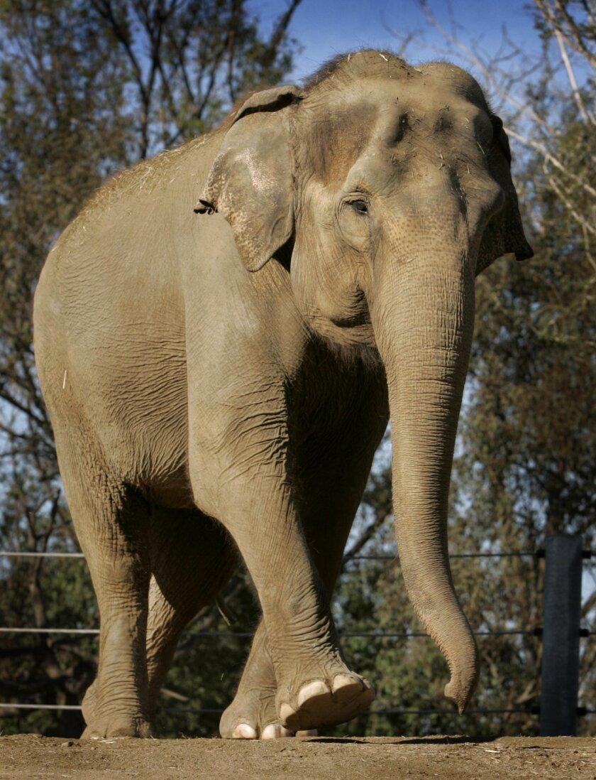 Cha Cha, an Asian elephant at San Diego Zoo, was euthanized Jan. 4, 2012.