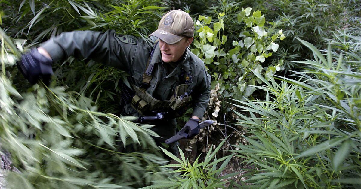 California's black market for pot is stifling legal sales