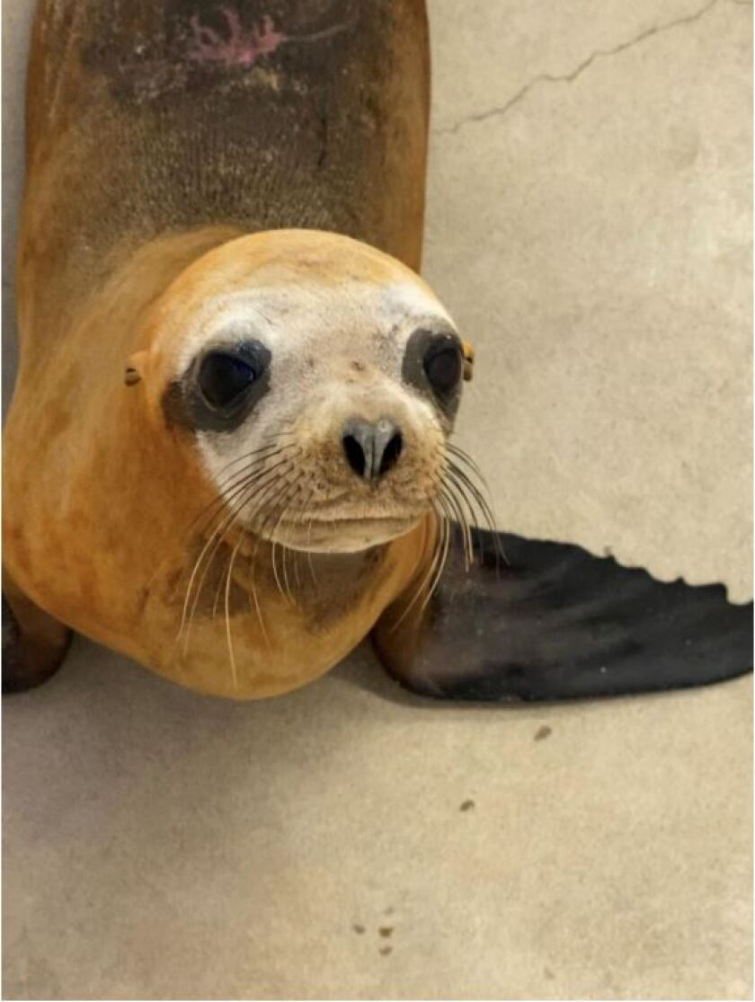 Newport Beach sea lion euthanized