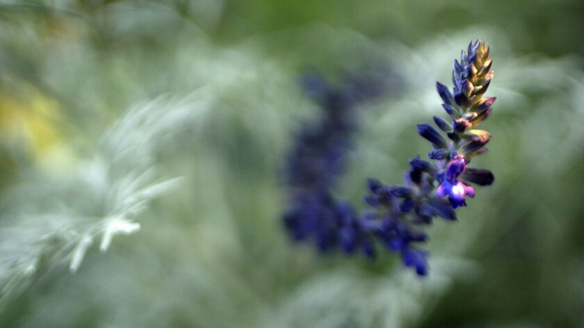 Salvia 'Indigo Spires' against a background of Artemisia Arborescens 'Powis Castle'
