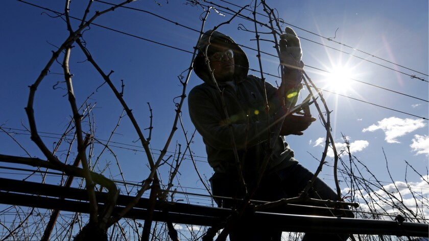 A worker tends a vineyard in Napa County, where a labor shortage is driving contractors farther afield to fill their work crews.