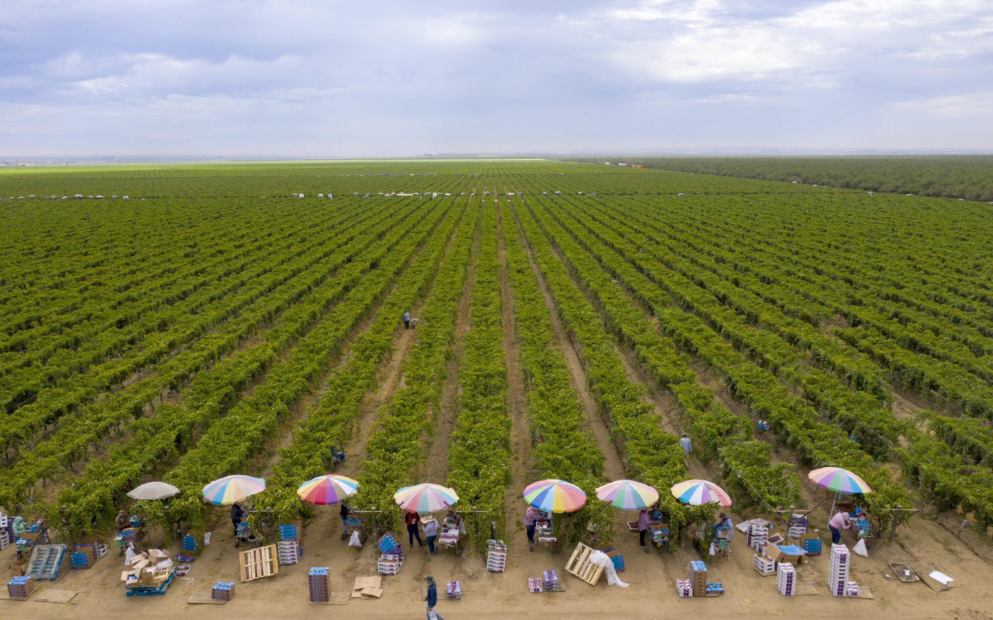 Umbrellas shade farmworkers as they pack up freshly harvested grapes recently in the Kern County town of Delano.