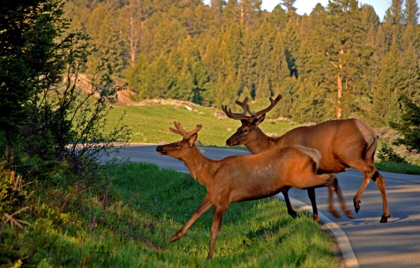 Elk make their way across the road in Yellowstone National Park. National parks and forests across the country waive fees Sept. 27 for National Public Lands Day.