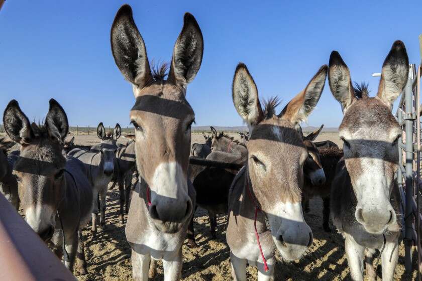 Burros peer through a fence at Ridgecrest Wild Horse and Burro Corrals on Monday. The animals were unfazed by two big earthquakes near the facility.