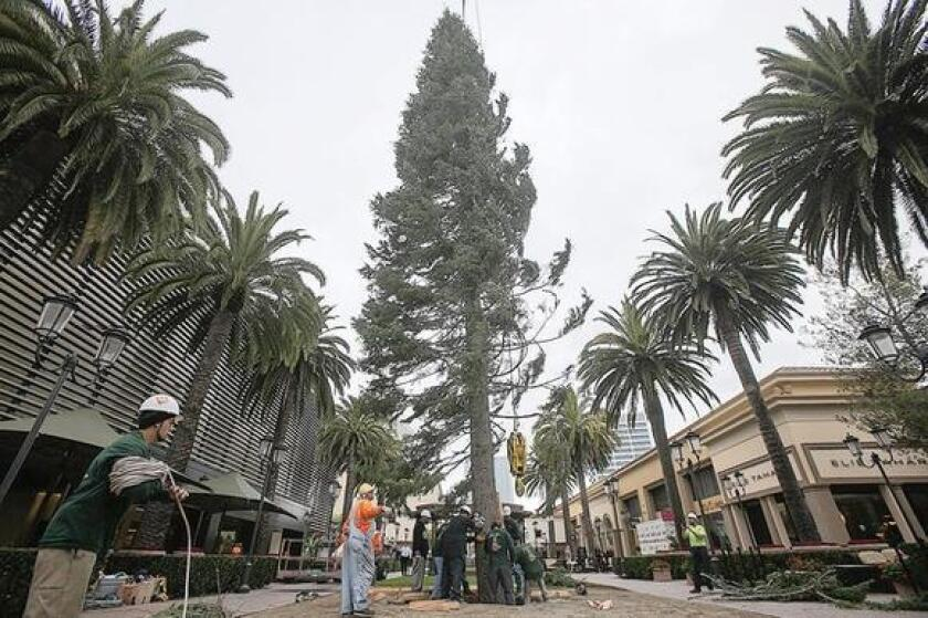 A crew with Victor's Custom Christmas Trees places a 90-foot white fir at Fashion Island on Monday.