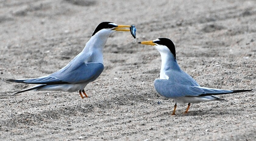Concerns about the California least tern, pictured, and the western snowy plover have delayed an Orange County Board of Supervisors vote on officially allowing unleashed dogs on a county beach straddling the Newport Beach and Huntington Beach border at the Santa Ana River mouth.