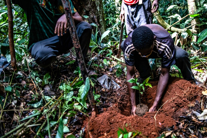 Local villagers plant a young ebony seedling in Cameroon's Congo Basin Rainforest as part of Taylor Guitars' The Ebony Project.