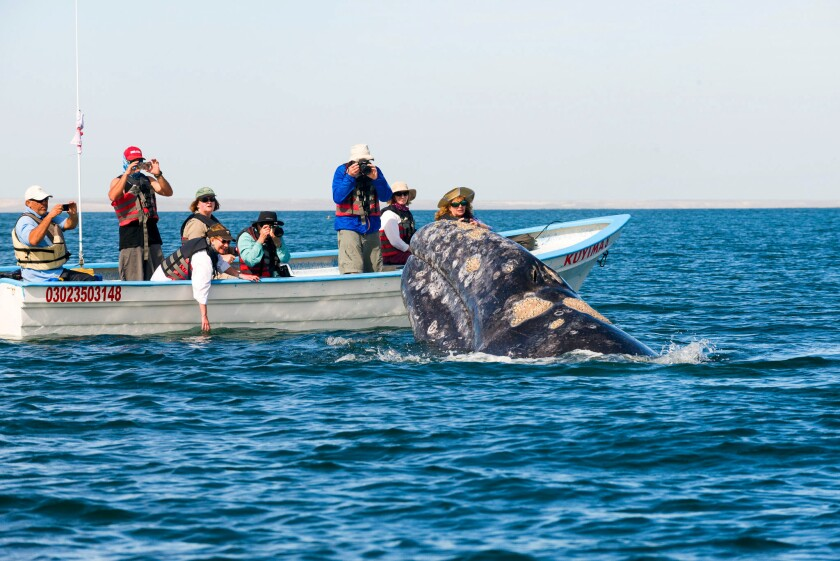 Whale watching grey whales in San Ignacio Lagoon, Mexico