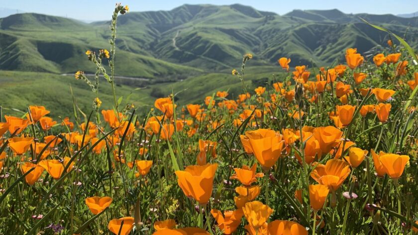 Poppies on Monday at Chino Hills State Park, about 40 miles east of downtown Los Angeles.