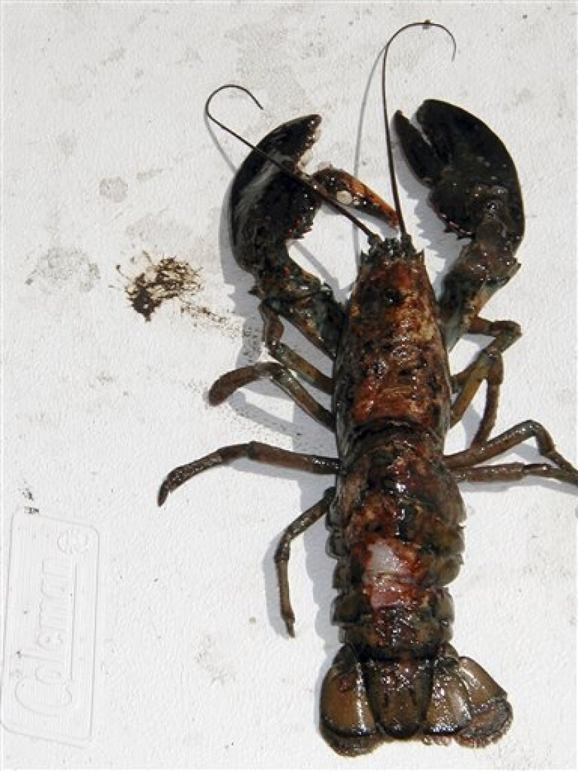 This undated photo provided by the University of Rhode Island in North Kingstown, R.I., shows a lobster with a diseased shell. The disease that has plagued the southern New England lobster industry now is becoming more prevalent in Maine, where it is valued at more than $300 million to fishermen and hundreds of millions more to coastal communities. (AP Photo/University of Rhode Island)