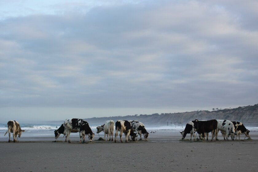 Here is La Jolla Light's version of the Cows on the Beach photo. How does it compare to the new official portrait? Find out this summer, at Wisteria Cottage.
