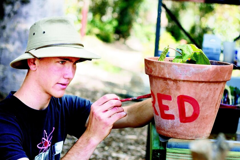 "Third-year student Eric Weise paints a paulownia tree named Frederico (""Fred"" for short) at Roger's Community Garden. Credit: Erika Johnson/UCSD University Communications"
