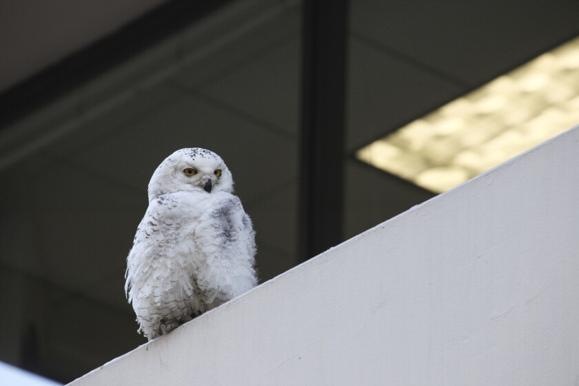 The snowy owl sits perched outside the Washington Post headquarters in Washington in January.