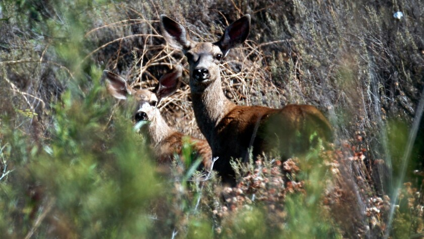 Mule deer are seen in Black Star Canyon in Orange County.
