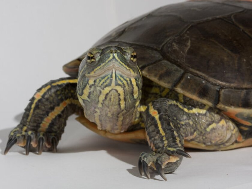 The DNA of this western painted turtle was examined for the study.