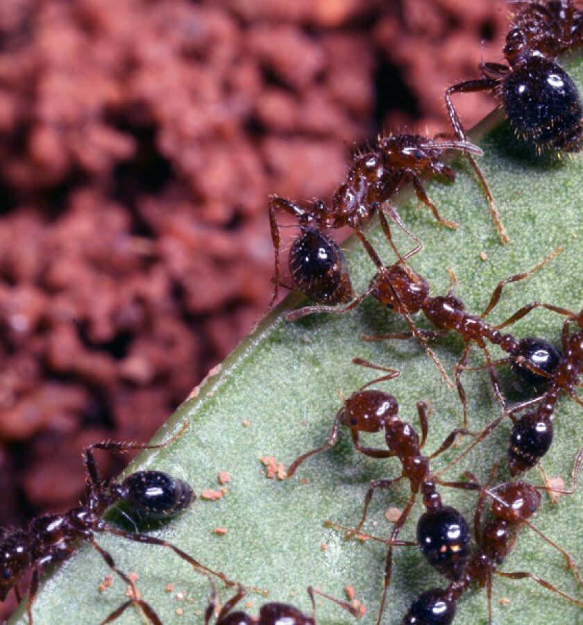 Crazy fire ants