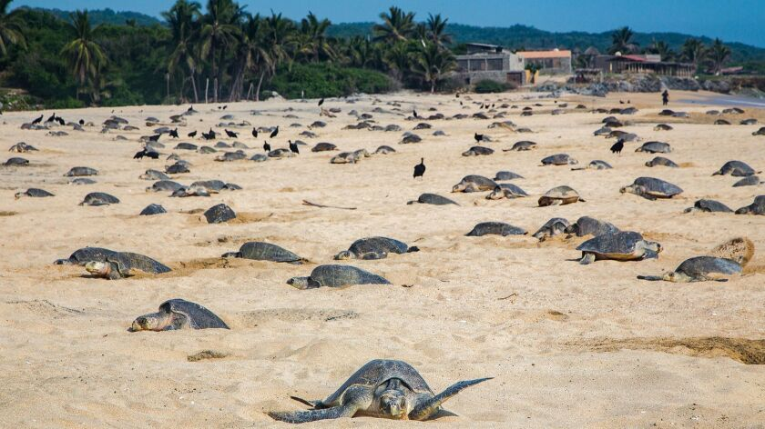 MEXICO-NATURE-ANIMALS-TURTLES-NESTING