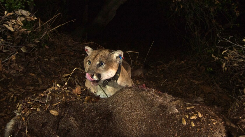 Puma-22, a.k.a. P-22, feeds on a mule deer in Griffith Park. A new study finds that male and female mountain lions select different hunting grounds.