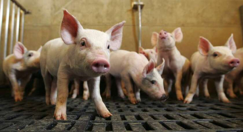 China leads the world in pork consumption at over 50 million tons last year.