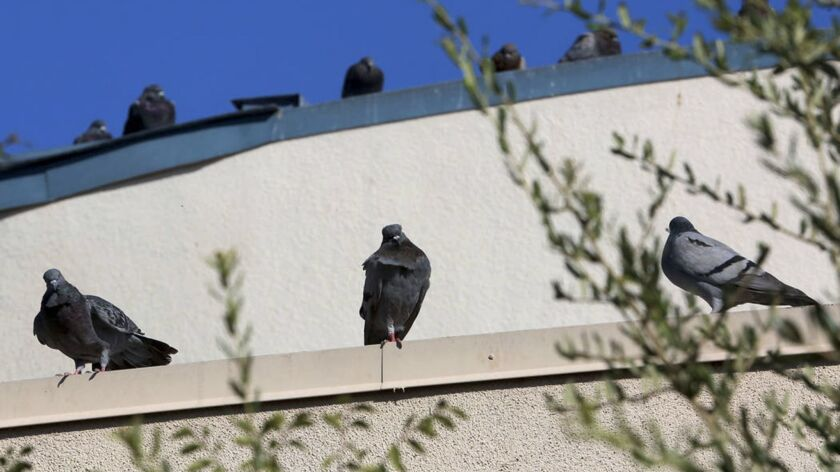 Pigeons sit on the roof of West Flamingo Senior Center west of the Las Vegas Strip.