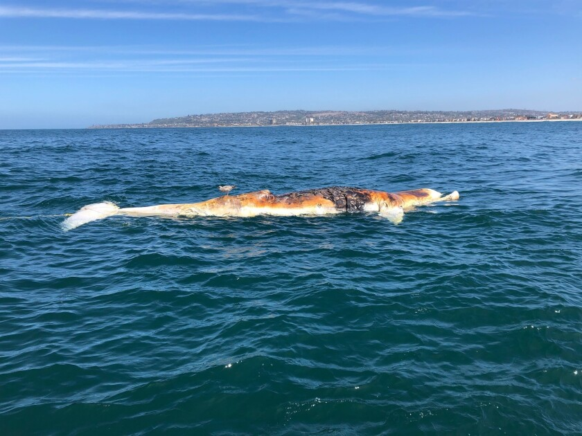 A whale carcass was spotted off Mission Beach on Friday.