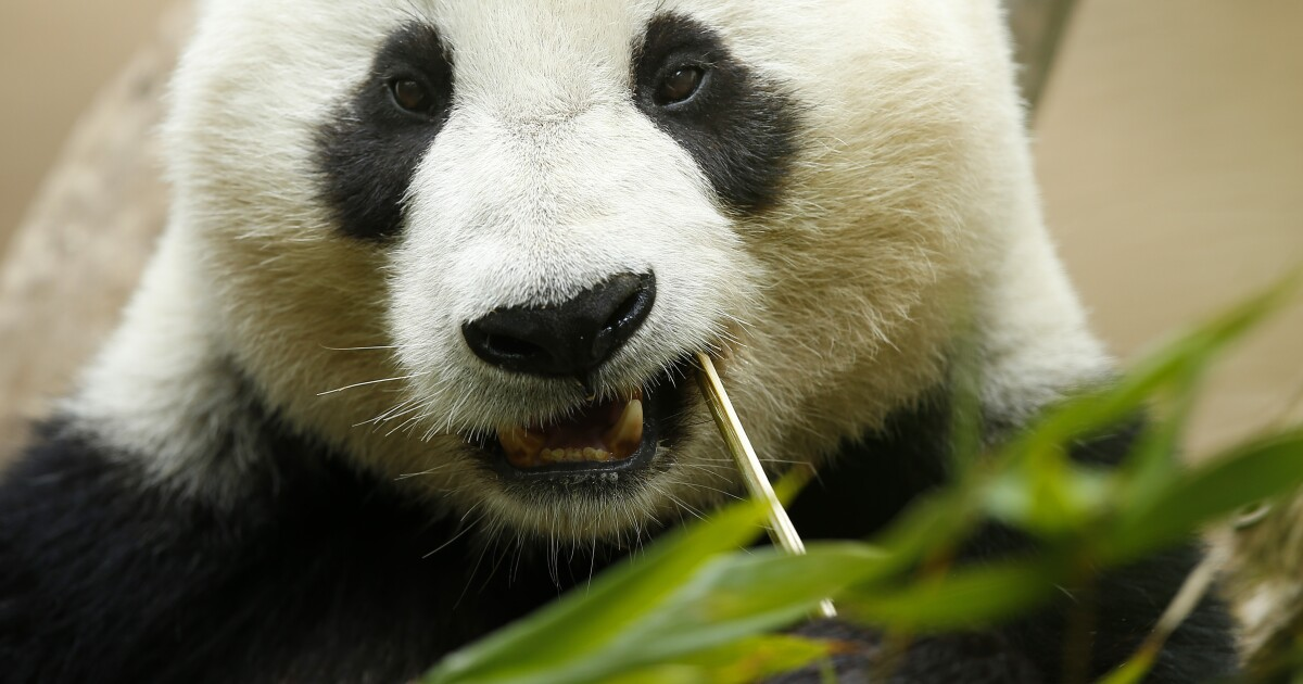 San Diego Zoo extends giant panda finale to April 29