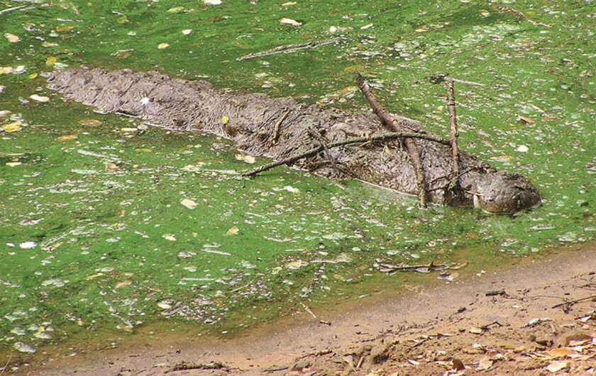 This clever mugger crocodile (Crocodylus palustris) has placed sticks across its already well-camouflaged snout in an attempt, scientists say, to lure in birds as prey.