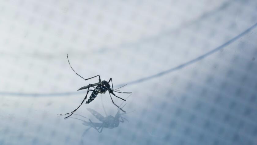 Un mosquito Aedes albopictus adulto, también conocido como el mosquito asiático, es capturado para una prueba, en una casa de Silver Lake (Marcus Yam/Los Angeles Times).Zika