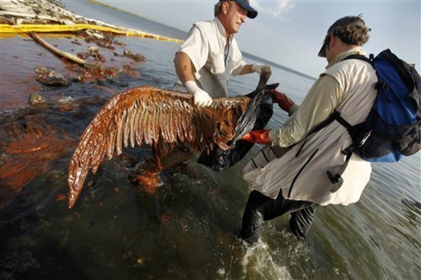 Plaquemines Parish coastal zone director P.J. Hahn lifts an oil-covered pelican which was stuck in oil at Queen Bess Island in Barataria Bay, just off the Gulf of Mexico in Plaquemines Parish, La., Saturday, June 5, 2010. (AP Photo/Gerald Herbert)