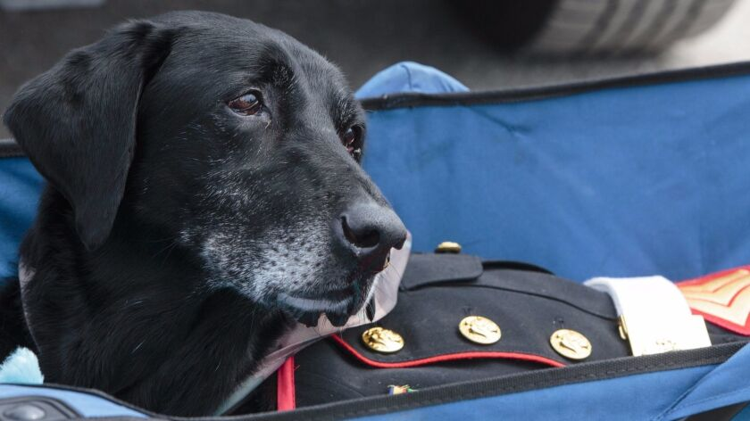 Cena, a 10-year-old black Labrador diagnosed with terminal bone cancer, served three tours in Afghan