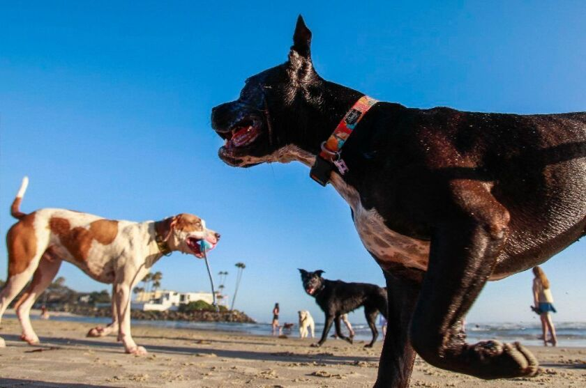 DEL MAR, June 14, 2017 | Dogs run free at Dog Beach in Del Mar on Wednesday. | Photo by Hayne Palmou