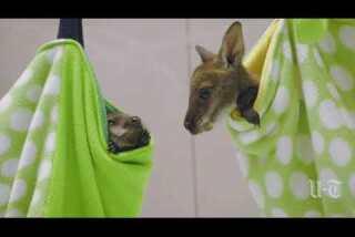 Wallaby joeys growing up at San Diego Zoo Safari Park