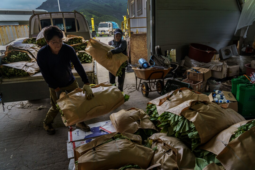 Park Jong-bum, left, and Natawat Tongratoke unload bales of tobacco leaves collected from the fields.