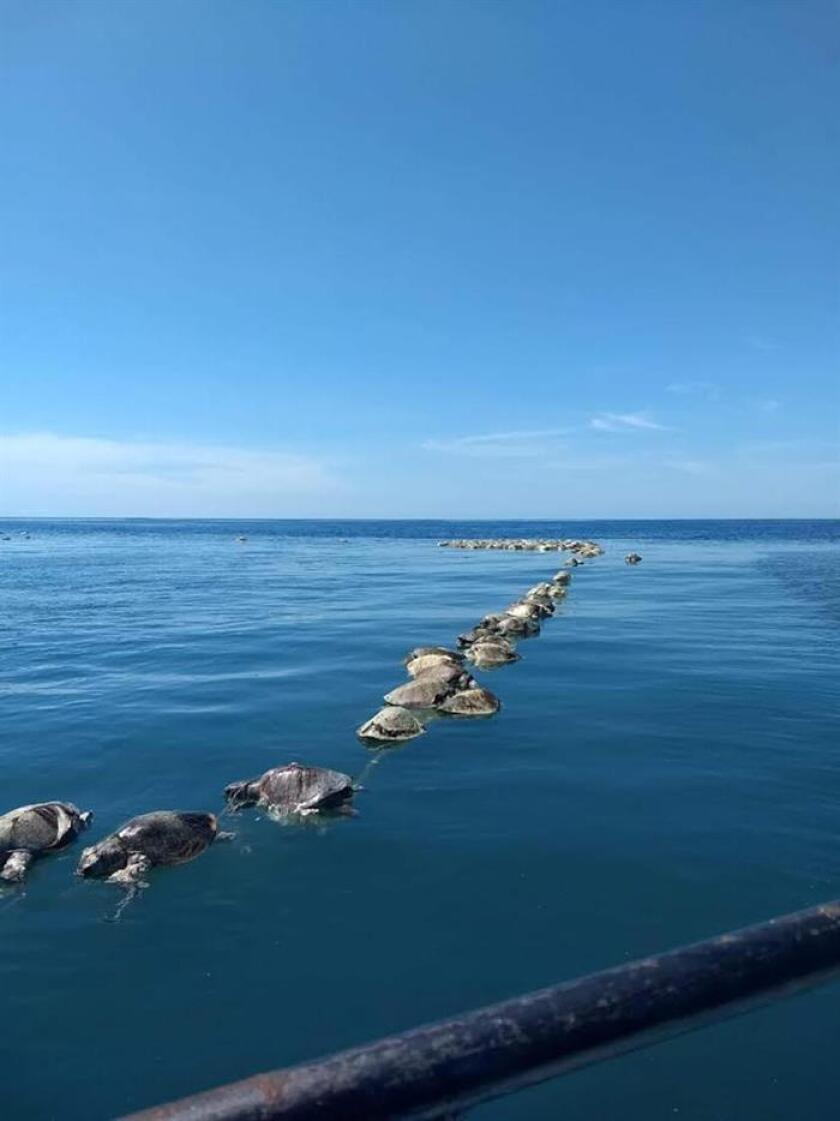 Tortugas sin vida flotan sobre las aguas del mar en Puerto Escondido, Oaxaca (México) hoy, martes 28 de agosto de 2018. Unas de 300 tortugas golfinas (Lepidochelys olivacea), en peligro de extinción, murieron hoy frente a las costas de Oaxaca, en el Pacífico mexicano, al quedar atrapadas en redes de pesca atuneras, informaron a Efe autoridades locales de Protección Civil. EFE/Francisco Simerman/MEJOR CALIDAD DISPONIBLE