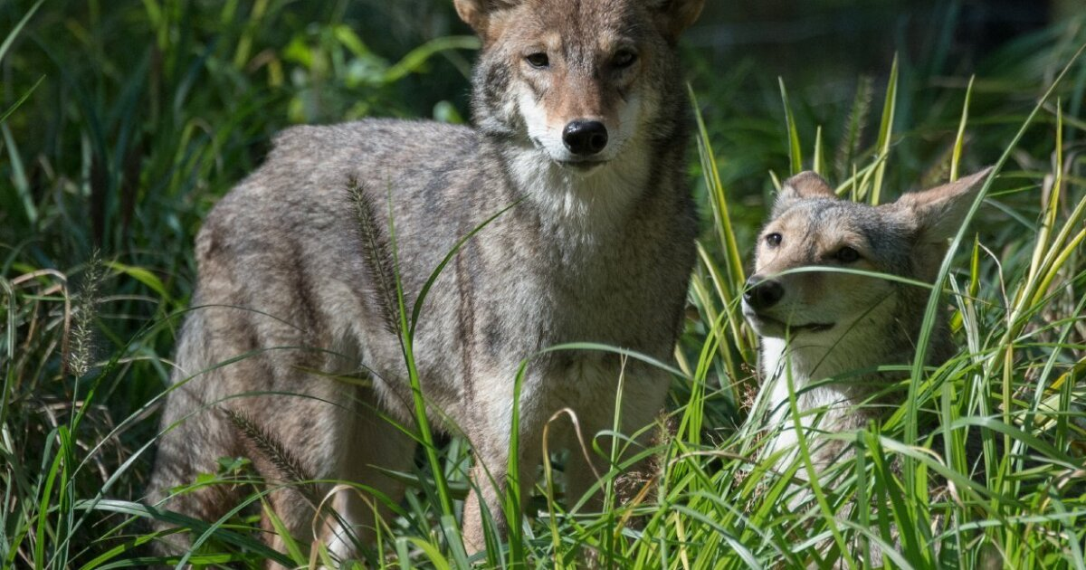 Can San Diego residents dealing with aggressive coyotes kill the