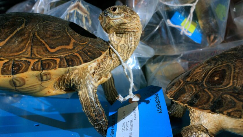 A shelf of turtles inside the U.S. Fish and Wildlife Service National Wildlife Property Repository i