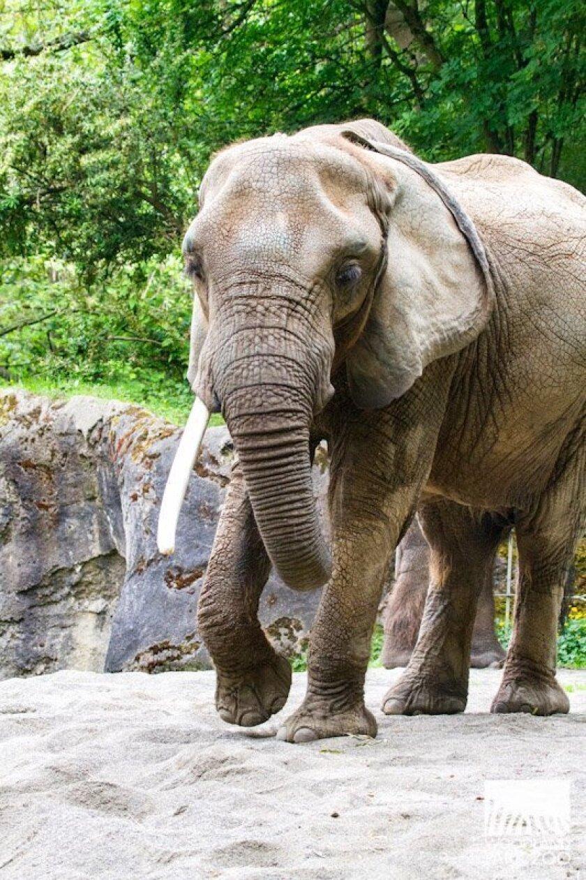 Elephant Dies At Seattle S Woodland Park Zoo The San Diego Union Tribune