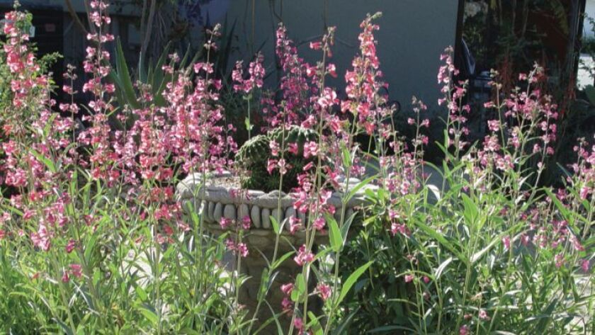 Photo from The Colorful Dry Garden book, page 139 - Penstemon.