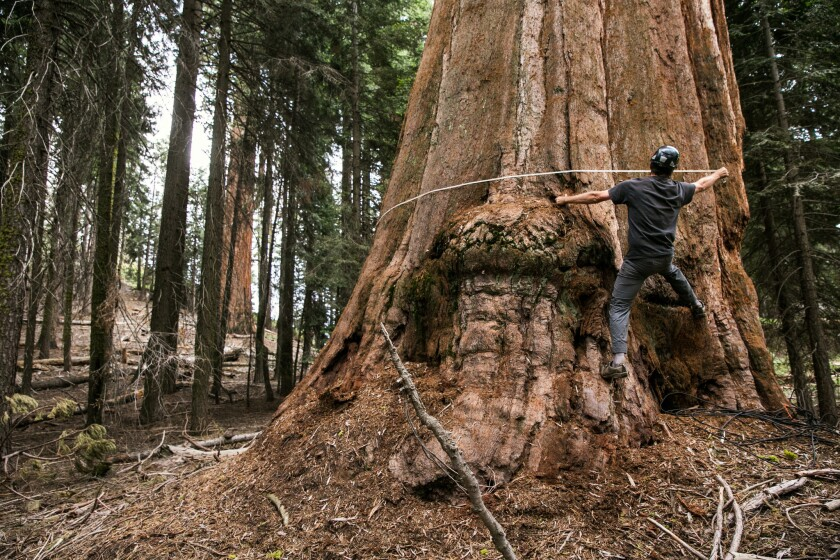 Anthony Ambrose measures the diameter of the base of a giant sequoia in Sequoia National Park.