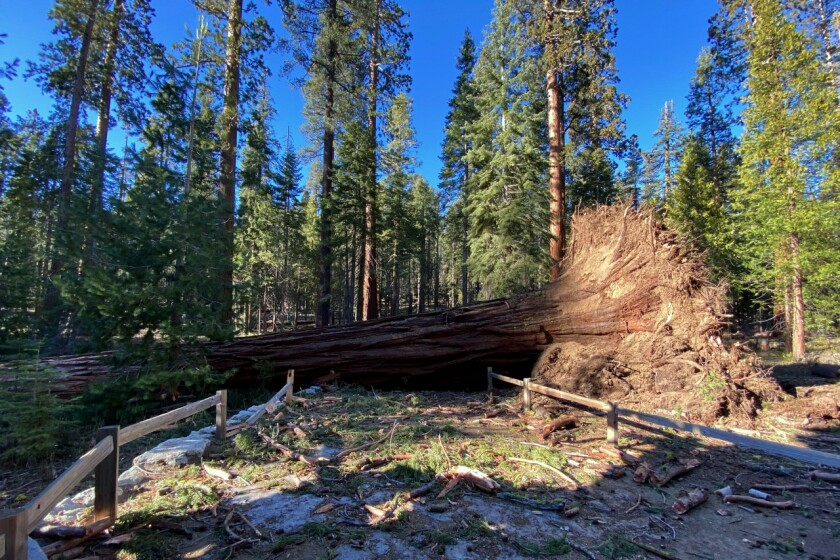 A fallen giant sequoia blocks a path in Yosemite National Park.
