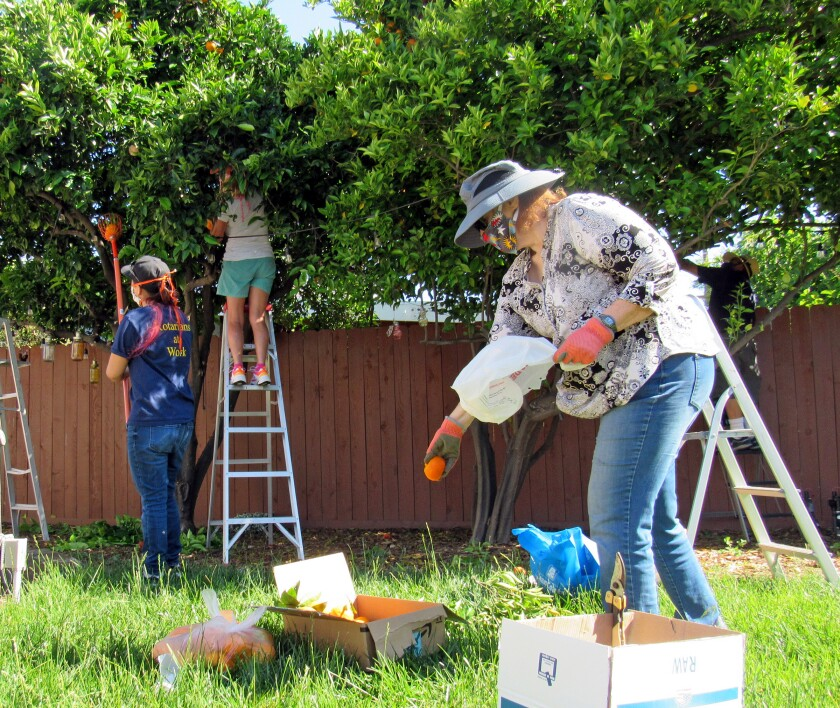 La Mesa Rotary Club members pick oranges recently in the backyard of a home in the San Carlos area.